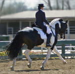 Cadence In Color-Friesian Heritage Sport Horse stallion