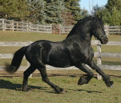 Friesian stallion-Mago of Carisbrooke