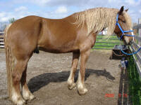 Patron Viho-This gelding is a very rare color. He is chestnut with flaxen. He is 1/2 Friesian and 1/2 Percheron. This means both parents had to carry red and flaxen which is rare is both breeds. He is owned by Carol Ann Gonyo