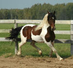 Friesian Heritage Sport Horse-Philo Norsk-Owned by Norsk Pintos