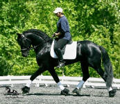 Friesian stallion-Bente D