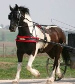 Tuxedo-Friesian Heritage-Pinto by Celtic Submitted by Awesome Sport Horses