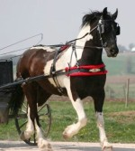 Tuxedo-Friesian Heritage-Pinto by Celtic