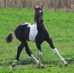 Friesian Heritage colt by Marco. Owned by Awesome Sport Horses